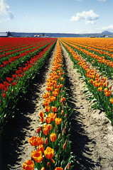 Tulip Field (bentilden) Tags: blue red orange usa color film beautiful field yellow topv111 washington spring tulips farm skagitvalley 1on1