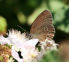 """Ringlet Brown Butterfly • <a style=""""font-size:0.8em;"""" href=""""http://www.flickr.com/photos/57024565@N00/112856180/"""" target=""""_blank"""">View on Flickr</a>"""