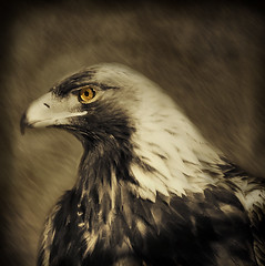 Thunderbird (IrenaS) Tags: portrait painterly bird nature sepia photoshop interestingness eagle artistic digitalart toned duotoned tinted dutoned irenas