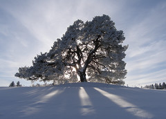 Furu / Pine (Krogen) Tags: winter tree nature norway wow landscape norge bravo quality natur norwegen olympus c7070 100v10f noruega lic nes scandinavia akershus lonelytree romerike krogen noorwegen noreg skandinavia specland abigfave fcsw diamondclassphotographer