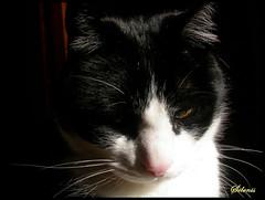 Etreo / Ethereal (selenis) Tags: bw macro cat feline close pb gato felino teco