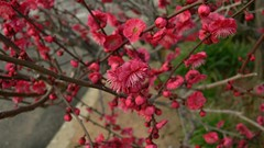 plumblossoms04.jpg (lolita_lmt) Tags: flowers vacation japan 2006 osaka osakacastle plumblossoms
