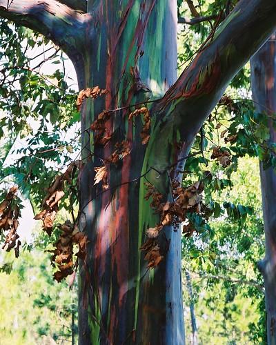Eucalipto Arco Iris Mindanao Gum