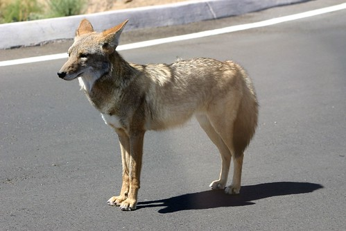 Coyote Up Close & Personal