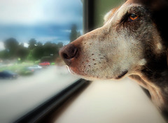 rainy day, dream away (astrocruzan) Tags: dog window rainyday daydream aprilfool whereareallthecats