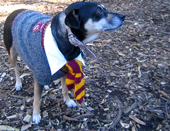 harry potter dog (istolethetv) Tags: dog dogs halloween photo costume foto image snapshot picture harrypotter halloweencostume photograph   tompkinssquarepark dogsincostumes dogcostume halloweendogparade tompkinssquareparkdogparade dogsinhalloweencostumes dogsdressedupaspeople canetravestito caneincostume halloweencostumesfordogs
