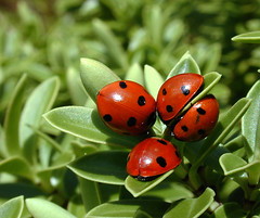 Connect4 (Steve Collins Photography (momofoto)) Tags: red green nature garden nikon wildlife tripod insects coolpix ladybugs ladybirds animalplanet gtaggroup goddaym1
