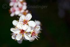 Cherry Tree Blossoms - check this out large! (joschmoblo) Tags: copyright flower tree closeup d50 cherry nikon bokeh bloom 1855 allrightsreserved 2007 scoreme39 judgementday56 joschmoblo christinagnadinger