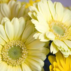 Yellow (bentilden) Tags: flower yellow pentax daisy gerberadaisies istdl
