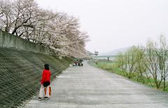 SAKURA blossoms - by Spiegel