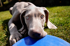 Weimaraner and Frisbee by Ali-PG