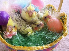 Happy Feathery Friday Easter Chicks! (nybird(Karen)) Tags: pet bird easter babies basket parrot chick chicks cockatiel parrots easterbasket tt1 kodakcx7430 featheryfriday nybird nybirds themeoftheweekcollections pixelthis nybirdsphotos