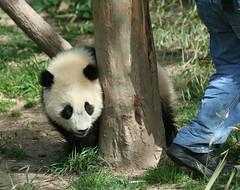 Those eyes are up to something... (somesai) Tags: zoo cub smithsonian panda tai nationalzoo endangered pandas meixiang taishan babyanimals dczoo butterstick pandaunlimited