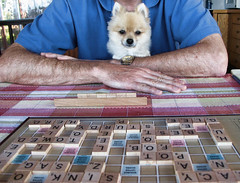 Sadie carefully considers (Dally) Tags: sadie scrabble 100views pomeranian speller smartdog p1f1
