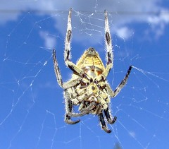 Garden Orb Spider (Vanessa Pike-Russell) Tags: city macro texture closeup garden spider interesting scary catchycolours spiders vibrant photoshopped arachnid sydney orb australia finepix nsw mostinteresting fujifilm popular upclose gong wollongong myfaves illawarra pc2500 s5600 lilcrabbygal vanessapr mootrade vanessapikerussellcom vanessapikerussell