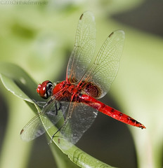 Red Dragon (chinsen) Tags: red bug insect dragonfly bokeh best specnature gtaggroup goddaym1 specanimal commentsbest