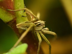 """wolf spider(2) • <a style=""""font-size:0.8em;"""" href=""""http://www.flickr.com/photos/57024565@N00/131834091/"""" target=""""_blank"""">View on Flickr</a>"""