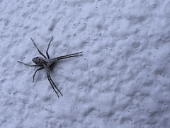 First Spider of the Spring (jasohill) Tags: japan wall japanese spider spring 2006 iwate  a70 canona70  senmaya