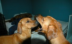 Let Me Have a Look (Proudlove's RR) Tags: friends dog dogs yawn ridgeback rhodesianridgebacks withfriend ridgies dogsatplay dentalcheckup dogwithanother