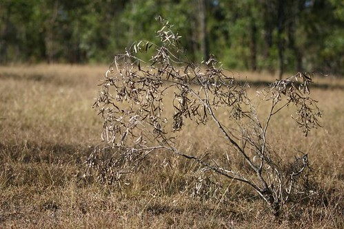 dried sapling