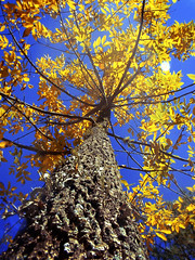 Otoo amarillo (Paula enfocando) Tags: autumn naturaleza tree nature beautiful arbol otoo bello benedetto enfocando ltytr1