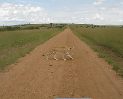 Lonely Lioness (Paul Carrington) Tags: elephant game hot ride kenya air balloon lion reserve riding mara cheetah giraffe tribe serengeti gazelle lioness masai maasai topi carrington masaimara gamereserve maasaimara balloonride