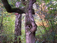Elephant tree (There can be only one  Rob!) Tags: tree forest scotland perthshire
