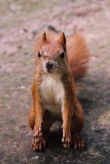 Stary daj orzeszka (P_I_O_T_R) Tags: animal canon 350d eyes squirrel canon350d 1750 28 tamron eos300 zwierz thebp tamron175028 piotrpanas httpwwwfacebookcompiotrpanasfotografia