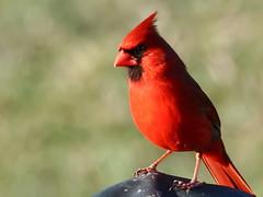 Northern Cardinal (Padrone) Tags: red bird print ilovenature cardinal explore cardinaliscardinalis naturescenes northerncardinal interestingness389 i500 2on2mayhalloffame 2on2halloffame