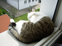 Fusillo sul davanzale (*DaniGanz*) Tags: white cute window cat kitten tabby kitty finestra ledge windowsill gatto bianco micio davanzale fusillo catsandwindows biancoetigrato tigrato daniganz