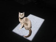 Basking (mostlysunny1) Tags: blue cats sunlight cute silver grey sweet meadow stretch furryfriday happyfurryfriday cc100