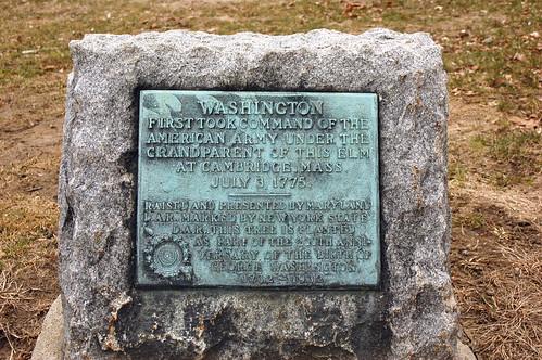 Washington Elm