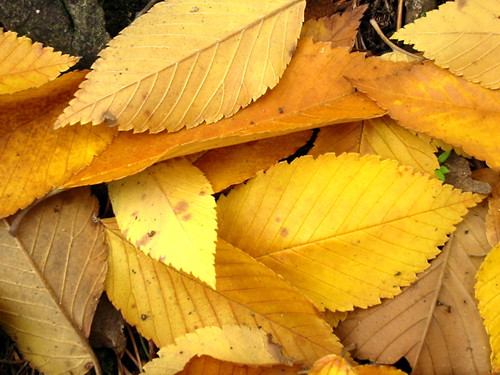 Autumn Golds