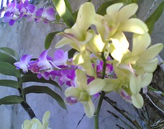 cream orchid (caring_litz) Tags: orchid dendrobium dendrobiumphalaenopsis