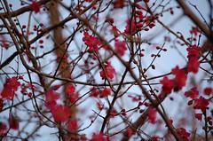 umenoki (vinzoo) Tags: pink japan 日本 東京 ume japon 梅 umenoki
