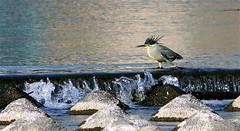 Walking on the Edge (jcowboy) Tags: bird heron nature water birds japan fauna river ilovenature wildlife 2006 rivers ornithology herons wildanimals may06 may2006
