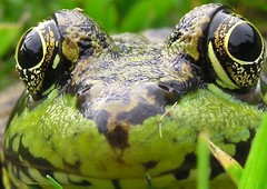 The World Through His Eyes (Matt Champlin) Tags: macro nature animals reflections eyes dof quality frog depthoffield pointofview greenery spotted amphibians slimy specnature