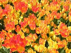 Holland, Michigan (snapstill studio) Tags: flower holland michigan tulip martinmcreynolds nikonstunninggallery