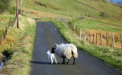 Escapees (Scott Foy) Tags: road park canon scotland sheep fences hills photowalk lamb fields poles a620 renfrewshire lochwinnoch blueribbonwinner muirshiel clydemuirshielregionalpark scottfoy