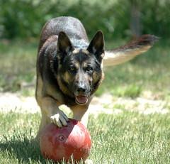 Wanna play? (Rock and Racehorses) Tags: explore 5bestdogs germanshepherd soe gsd dogexpressionofthemonth 5bestdogpics abigfave
