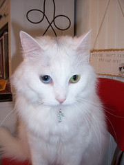 My Chair...and my bling! (bsmith4815) Tags: family pet cat fluffy rhinestone familypet turkishvancat
