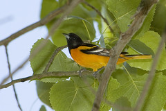 There's No Crying in Baseball (martytdx) Tags: male birds topv111 lifelist nj baltimoreoriole oriole icterusgalbula palmyracovenaturepark