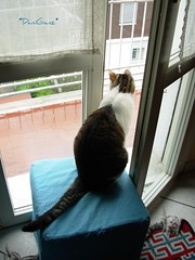 Piove... It's raining (*DaniGanz*) Tags: rain cat terrace kitty raining pioggia gatto kittie piove micio balcone terrazza fusillo catsandwindows daniganz