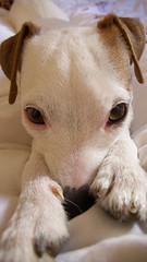P10000241 (smaitreparis) Tags: dog happy awake