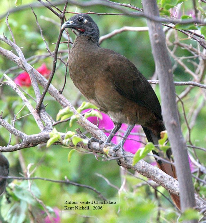 Rufous-vented Chachalaca (Ortalis ruficauda)