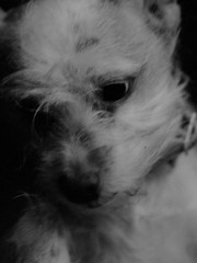 angelic orson (futurowoman) Tags: dog cutie terrier orson evolt