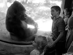Children Marveling at Gorilla