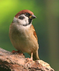 Tree Sparrow (Chi Liu) Tags: bird nature quality sparrow treesparrow passermontanus eurasiantreesparrow chiliu