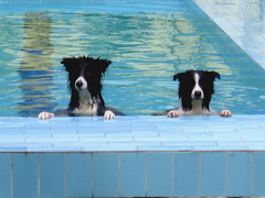 Where's everyone? (kingzleyking) Tags: dog dogs pool june swimming year may 2006 images buddy moo getty kingsley bordercollie bordercollies supershot interestingness76 i500 1000v40f cmcjuly06 abigfave explore20060513 pet2000