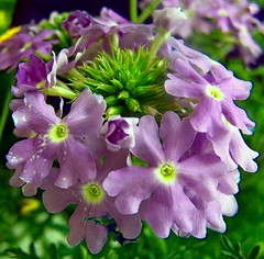Purple Flowers (Not The First Noel) Tags: flowers macro tag3 taggedout catchycolors spring tag2 tag1 purple nikonstunninggallery